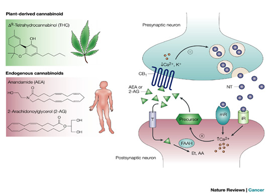 Endocannabinoid Causes Symptoms Treatment Endocannabinoid