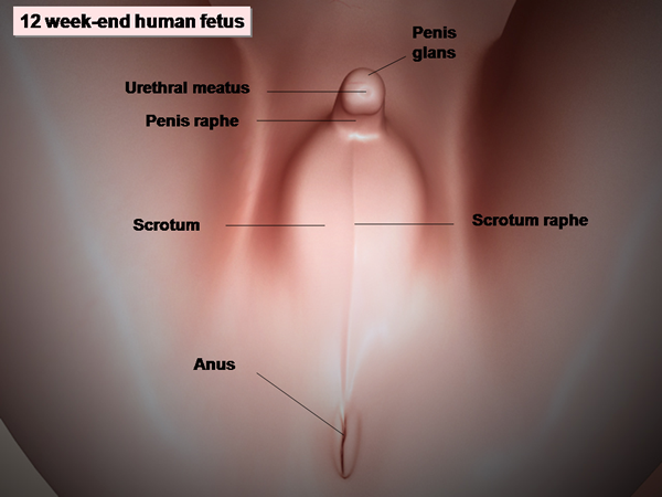 External genitalia, male. Causes, symptoms, treatment ...