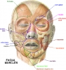 Facial muscle