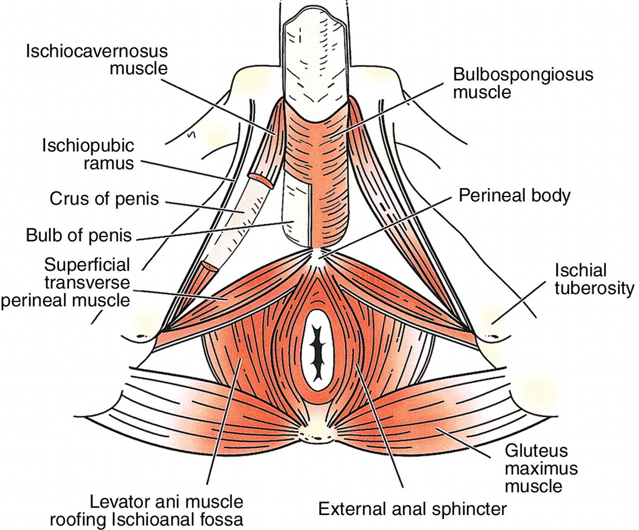 Muscles Used During Sex 102