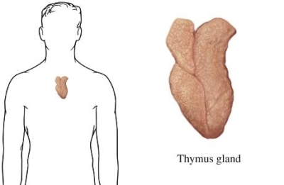 Gland Thymus on where are the pancreas located in body