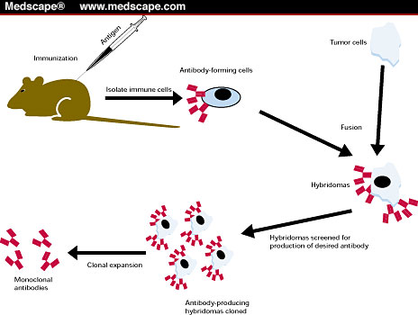 development of hybridoma cells Our hybridoma development process takes about 16-25 weeks, depending on the complexity of your project prosci's hybridoma development is divided into 3 phases: for more information on the 3 step process, visit our antibody basics: hybridoma development blog.