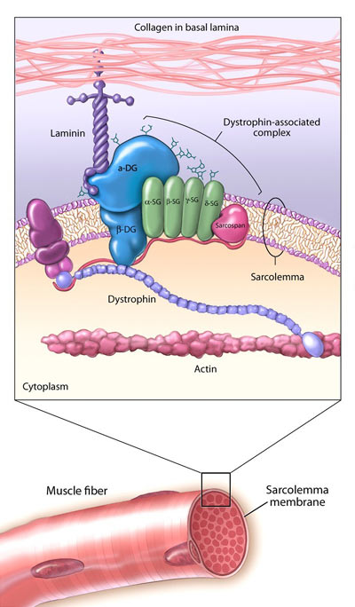 the description and symptoms of muscular dystrophy disease Learn about duchenne muscular dystrophy, find a doctor, complications, outcomes, recovery and follow-up care for duchenne muscular dystrophy  by the disease.