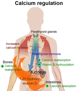 Parathyroid hormone. Causes, symptoms, treatment Parathyroid hormone