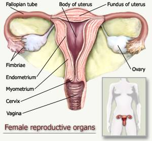 Organs Female Reproductive System