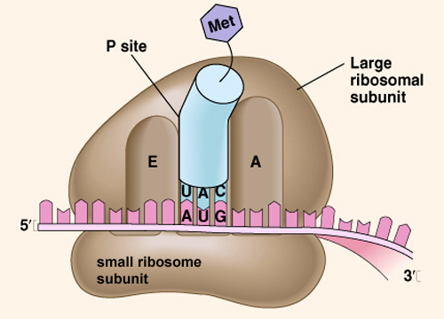 Ribosomal Rna Causes Symptoms Treatment Ribosomal Rna