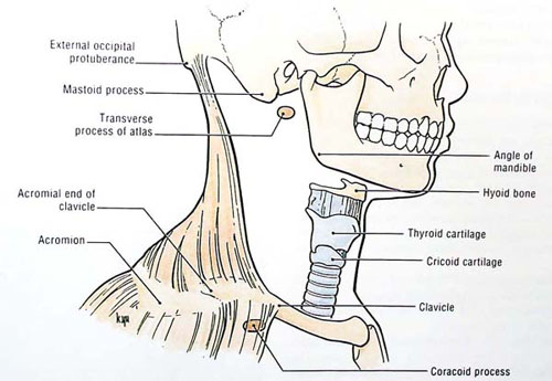 suprasternal notch. causes, symptoms, treatment suprasternal notch, Human Body