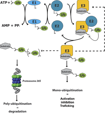 Ubiquitination Causes Symptoms Treatment Ubiquitination
