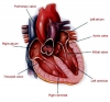 Ventricle, heart